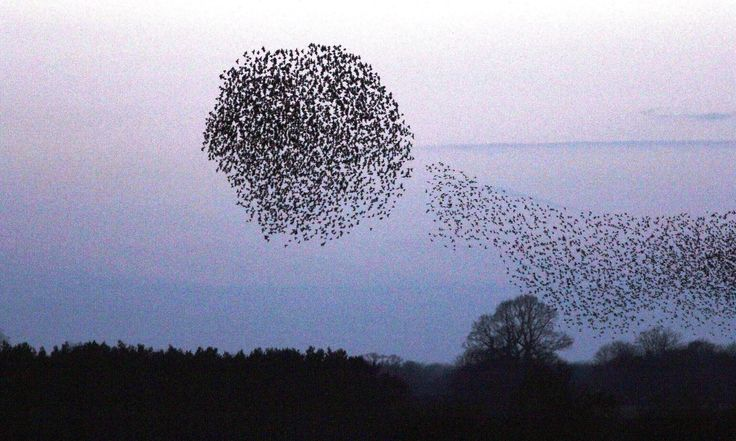 Starling murmurations at RSPB Minsmere nature reserve in Suffolk, England