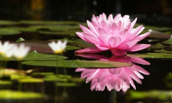 Plantas acuáticas para un estanque.