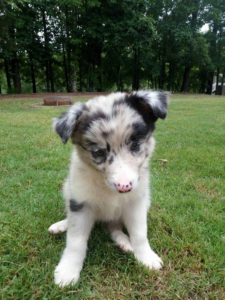 Border Collie Puppy So Cute Border Collie Puppies Collie Puppies Dog People