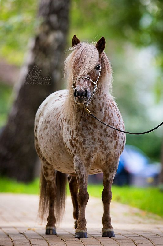Cute spotted pony, but she looks very pregnant.
