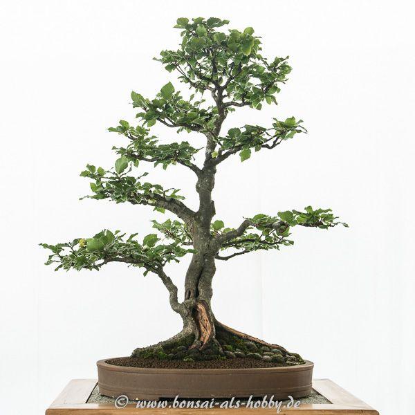 Rotbuche Als Bonsai Baum Bonsai Baum Bonsai Und Baum