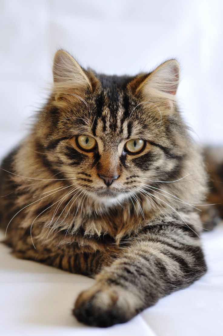 Not a Maine coon