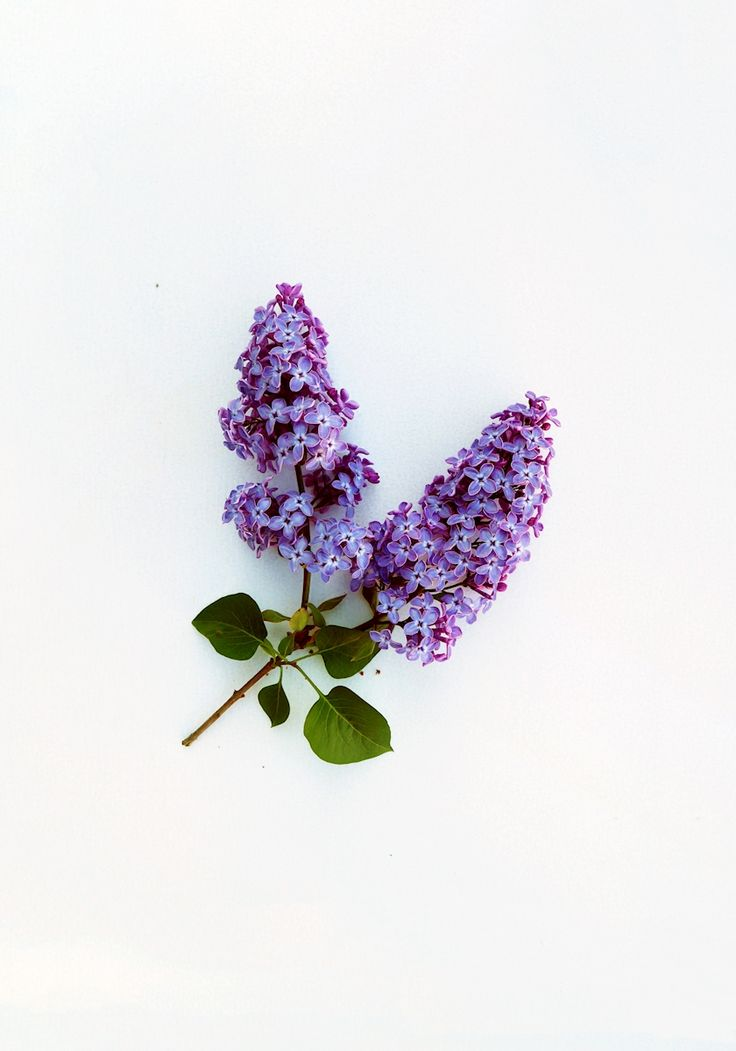 Minimalisitic photograph of a lilac, part of photo series Wild Food - a collection of portraits of wild edible plants, depicted in its imperfect beauty. Photograph by Emilia Blom. Available as poster and laminated picture from Printler, the marketplace for photo art.