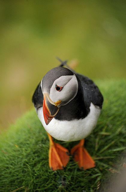 Puffin in Shetland, Scotland UK. Don't be sad Mr. Puffin, start fresh for the new year!