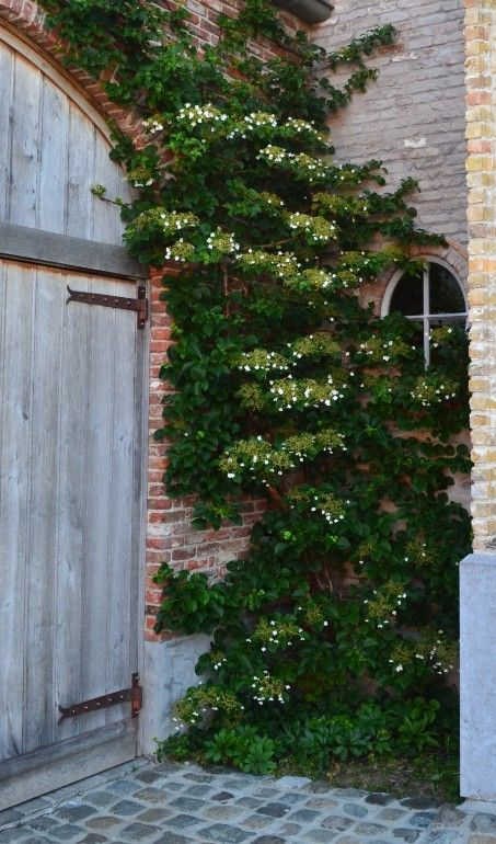 Climbing Hydrangea (shade-part shade) perfect for courtyard. Mais