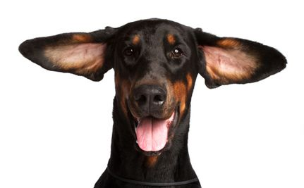 Daily Cute: World's Silliest Doberman: