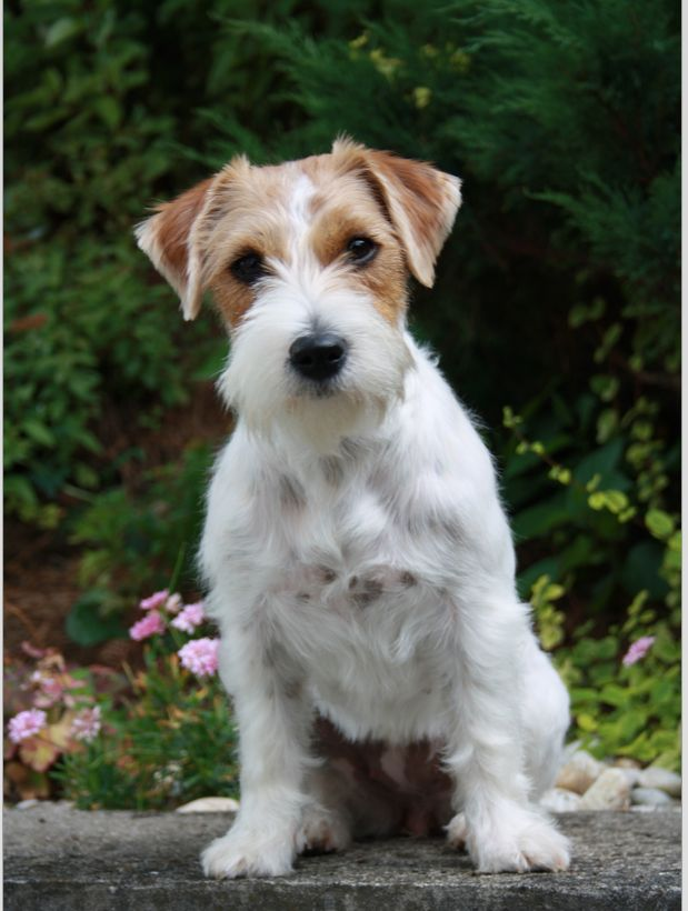 Look at that face - so cute - SO MISCHEVIOUS! (Jack Russell - wire haired).