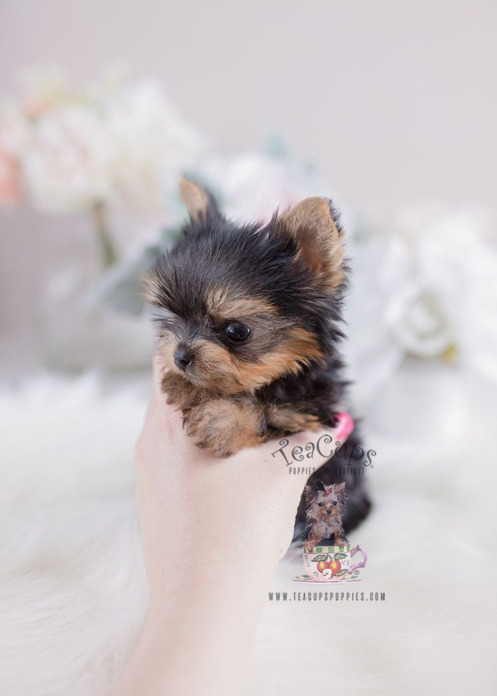 Precious Teacup Yorkshire Yorkie Terrier Puppies For Sale Cuteteacuppuppies Tiny Teacup Yorkie Teacup Puppies 108 For Sale Cuteteacuppuppies In 2020 Yorkie Terrier Teacup Yorkie Puppy Teacup Puppies
