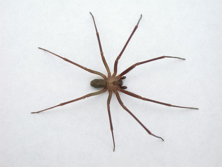 Brown recluse (AKA hobo) - deadly NW spider