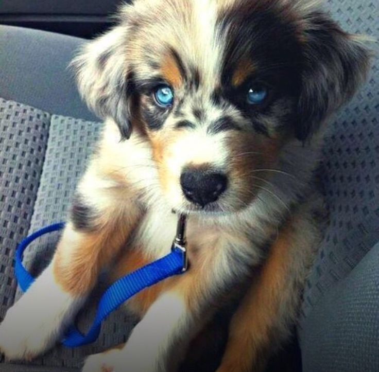 Best 25+ Pomeranian Husky Full Grown ideas on Pinterest ...