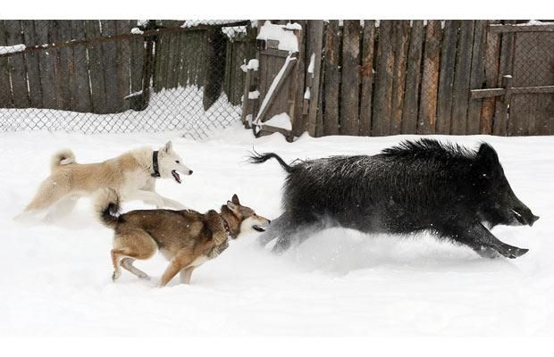 dogs+chasing+wildboar | Two dogs chase a wild boar at a kennel for breeding and training ...