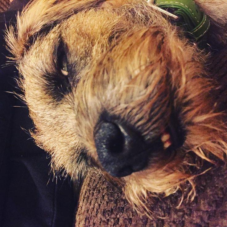 It's been a hard day!! #bt #borderterrier #bordersofinstagram #borderterriersofinstagram #dogsofinstagram