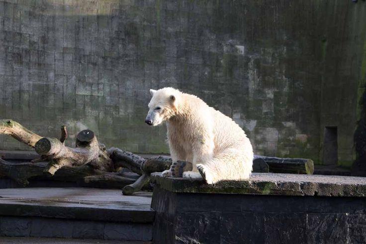 Eisbären im Rostock Zoo | Fiete der Eisbär im Rostocker Zoo – Dezember 2015 (c) Frank Koebsch