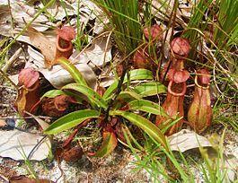 Плотоядные растения: Непентес адамана - Nepenthes andamana