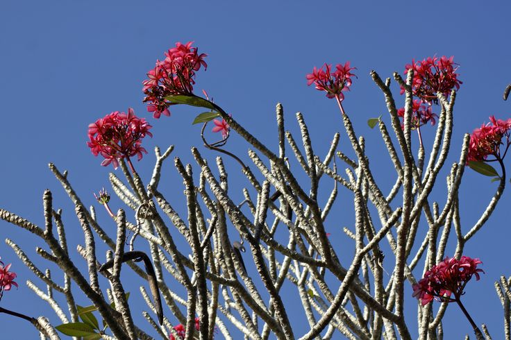 Bunga kamboja merah