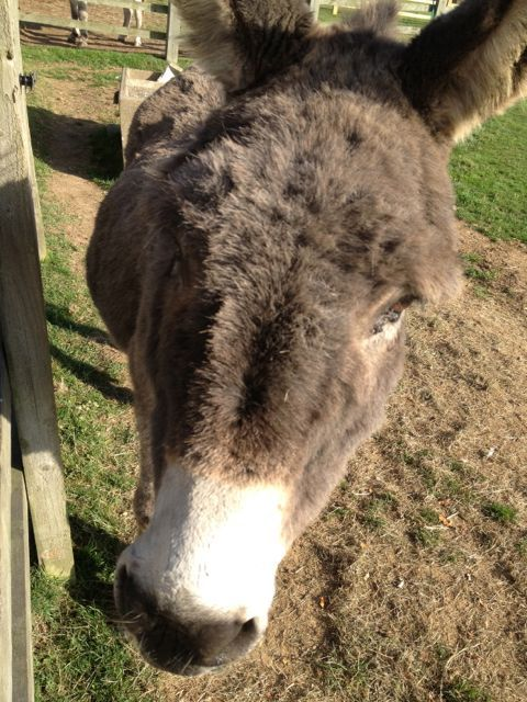 Donkey Sanctuary, Huttoft : one of the fabulous donkey's resident at this wonderful rescue centre