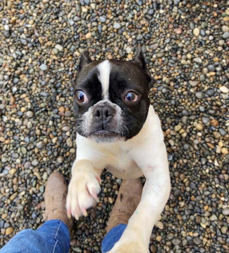 Adopt Indy On City Pets Dog Adoption Homeless Pets