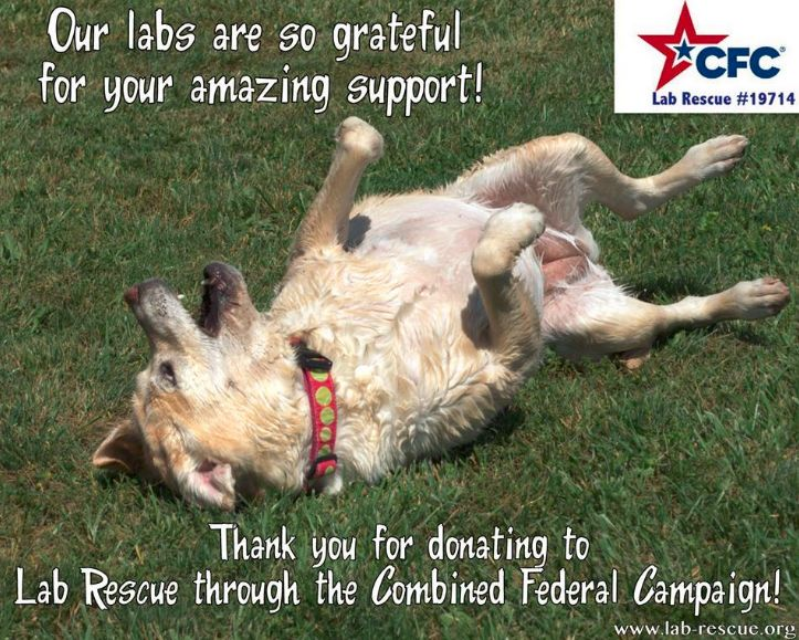 Contributions made to Lab Rescue LRCP, through the Combined Federal Campaign, play a critical role in funding our life saving work. Please SHARE with family and friends who work for the federal government or military. CFC # is 19714 www.lab-rescue.org #lab #rescue #adopt #charity #CFC