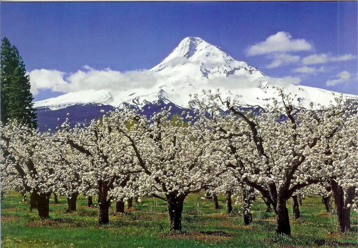 Pear Orchard mt-hood-orchards-of-hood-river-valley Darryl Lloyd, Long Shadow Photography   Popcorn popping on a popcorn tree!