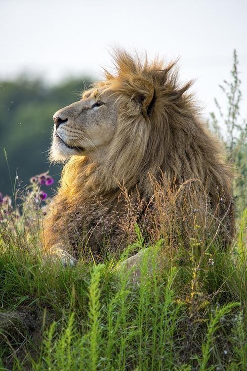 """Animal Life on Twitter: """"Das wohl schönste Bild eines Löwen auf dem …   – Inspirational Photography"""