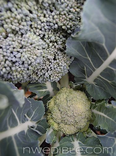 How and When To Harvest Broccoli and Cauliflower (6)