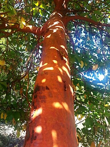 Arbutus tree (Vancouver Island)