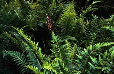 Blechnum nudum - Fishbone Water Fern - often forms large colonies along moist creek banks in the wild. Easy to grow, thrives in winter-wet shady places where many plants won't grow.