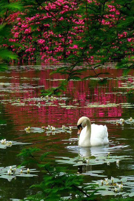Swan, Sheffield Park, Sussex, England - via: jerez72 - Imgend