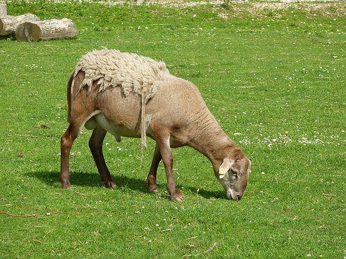 Hausschaf mit interessanter Schur auf dem Possen in der Nähe von Sondershausen.  Das Hausschaf (Ovis orientalis aries) ist die domestizierte Form des Mufflons. Es spielt in der Geschichte der Menschheit eine bedeutende Rolle als Milch-, Lammfleisch-  ww.adaklikkoyunfiyatlari.com