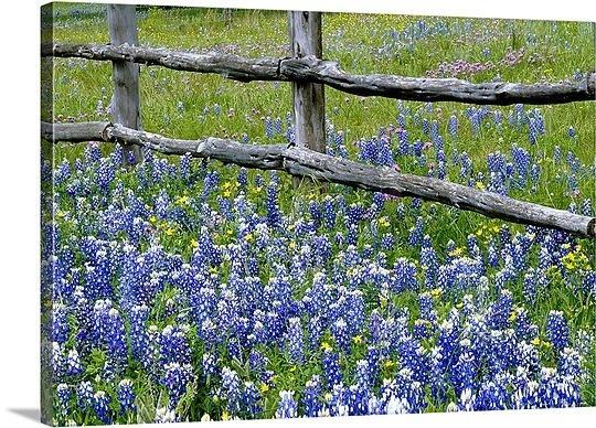 .Bluebonnets Wood, Weather Wood, Bluebonnets Flower, Wood Fences, Flower Bloom, Lakes Michigan, Blue Flower, Texas Photos, Texas Bluebonnets