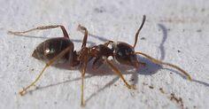 Ameisen vertreiben ohne Gift - 10 natürliche Hausmittel für Wohnung, Balkon und Terasse