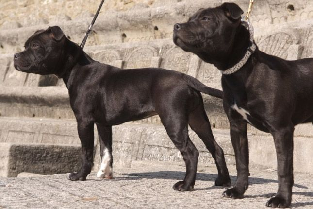 Find Staffordshire Bull Terrier puppies for sale with pictures from reputable dog breeders. Ask questions and learn about Staffordshire Bull Terriers at NextDayPets.com.