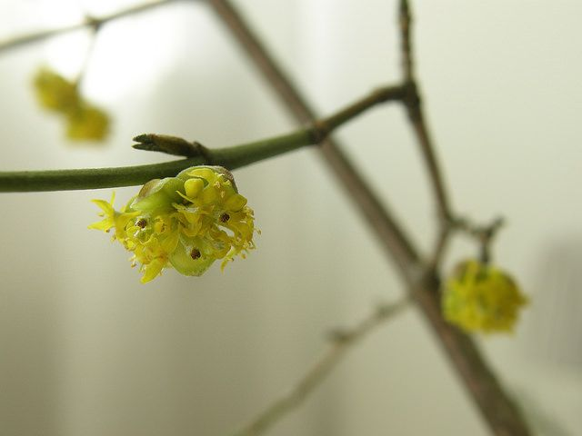Cornus sp. | Flickr - Photo Sharing!