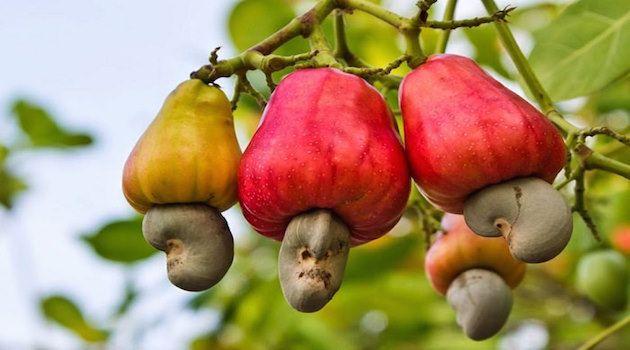 Nasıl Yetiştiğini Muhtemelen Bilmediğiniz Sebze Meyveler'in listesini görünce çok şaşıracaksınız. Kakao, tarçın, ananas ve daha pek çoğu nasıl yetişiyor