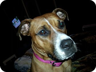 Pictures of Layla a Boxer/American Pit Bull Terrier Mix for adoption in Rome, NY who needs a loving home.