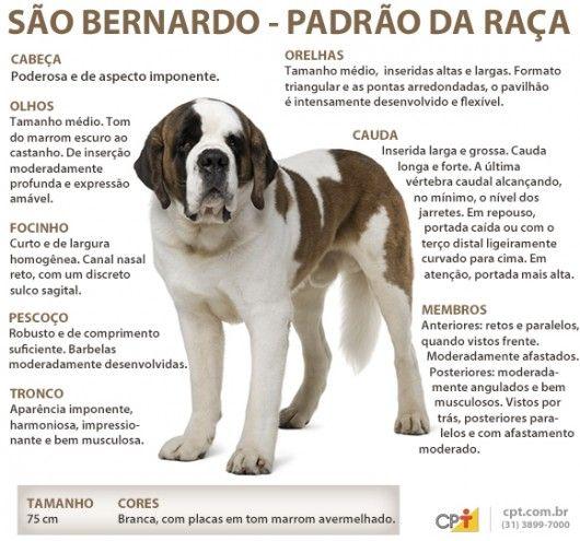 Padrão da raça São Bernardo