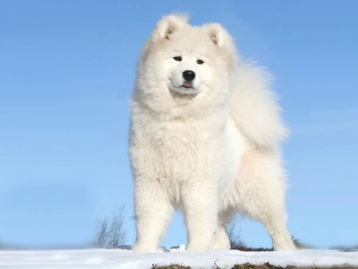 samoyed! Ben and I are thinking we may get these guys as apuppy and have our black furry dog and our white furry dog....