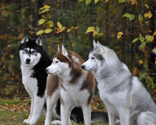 Three husky's, love the black one's eyes!