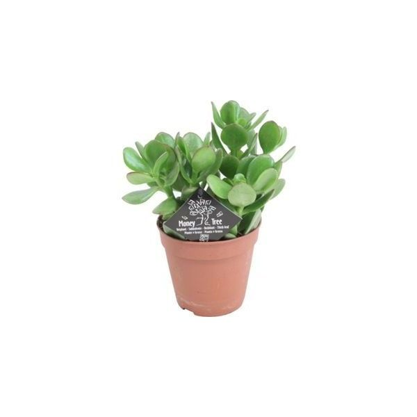 Money Plant (Crassula Argentea) 12cm ❤ liked on Polyvore featuring home, home decor, floral decor, fillers and plants