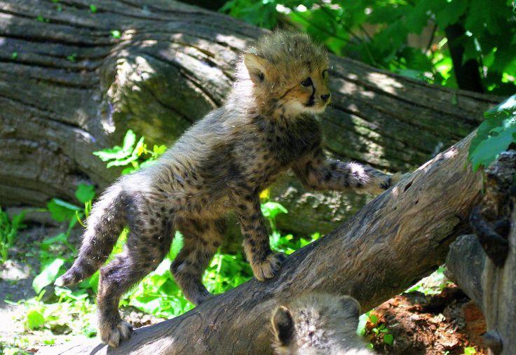 Photograph Climbing cheetah cub by Rainer Leiss on 500px
