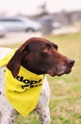 Jackie (DFW): German Shorthaired Pointer, Dog; Dallas, TX