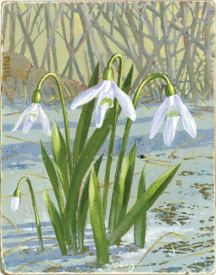 Snowdrops. Illustration by ©Phil. Happy 2016!