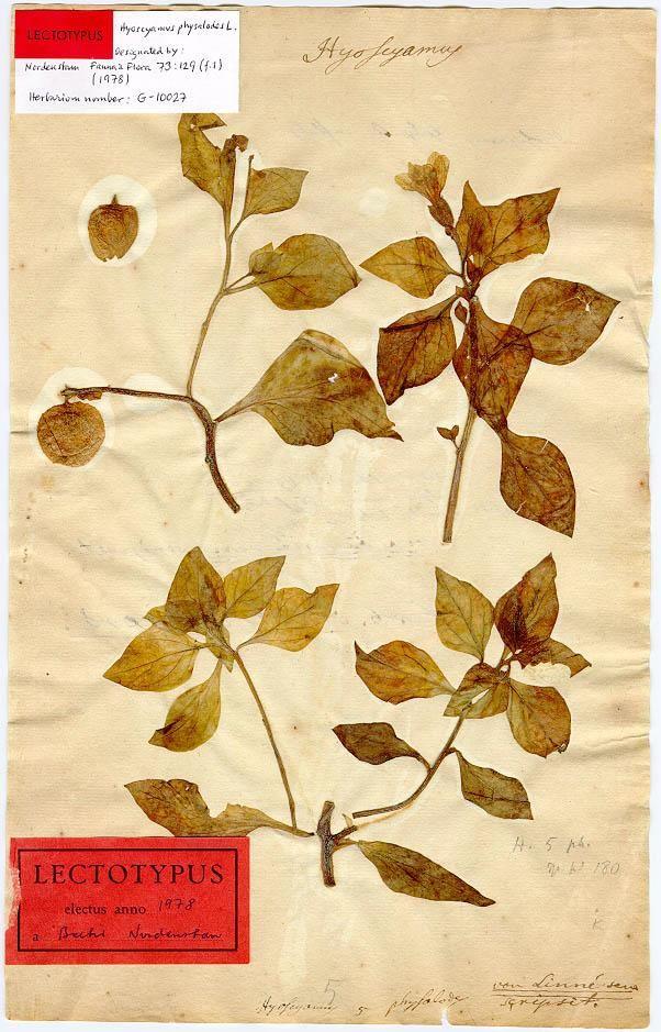 18th Century Botanical Specimen prepared by Carolus Linnaeus, part of the Linnean Herbarium of the Swedish Museum of Natural History.