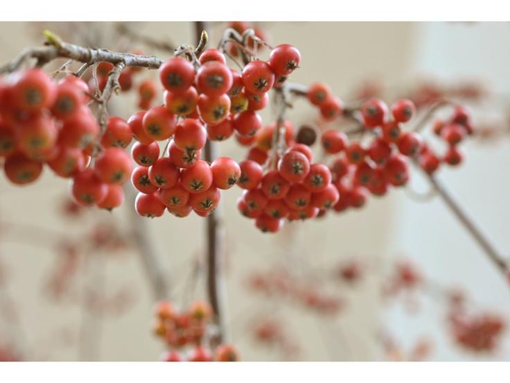 Aronia (Chokeberry) Aronia ma właściwości ma podobne do czerwonego wina. Owoce aronii zawdzięczają swe terapeutyczne właściwości bioflawonoidom i rutynie. Te właśnie składniki zapewniają całkiem dobrą kondycję naczyniom krwionośnym. Wyciąg z tego owocu pozwala dość skutecznie regulować nadciśnienie tętnicze, zapobiega odkładaniu się cholesterolu w ściankach tętnic, oraz chroni przed chorobami serca. Aronia zmniejsza też stany zapalne drobnych naczyń krwionośnych.