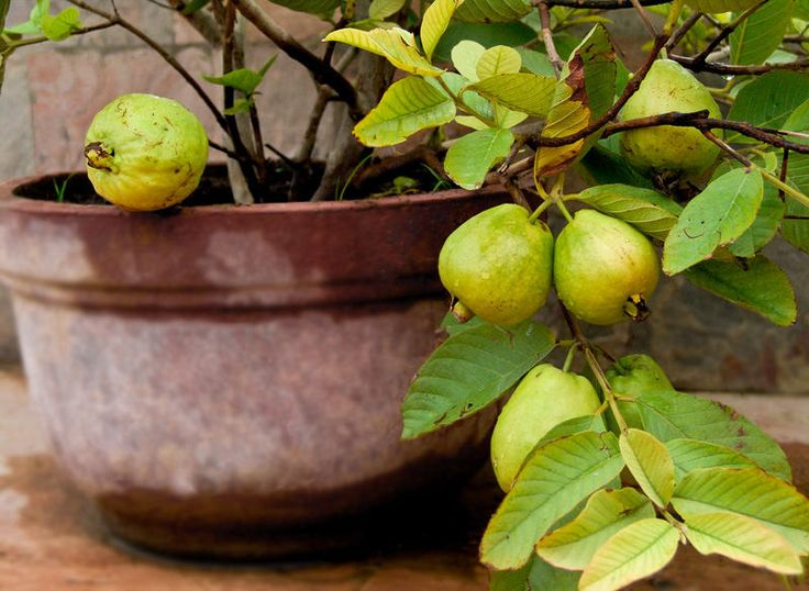 Guava tree care and growing is easy. With the information given in this article you can understand how to grow guava tree in a pot. It will delight you with its sweetly scented flowers, delicious fruits and beautiful tropical appearance.