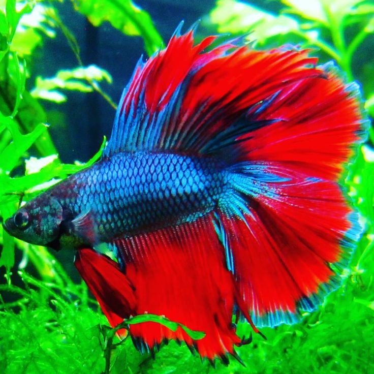 32 best male betta fish images on pinterest beautiful for Show betta fish