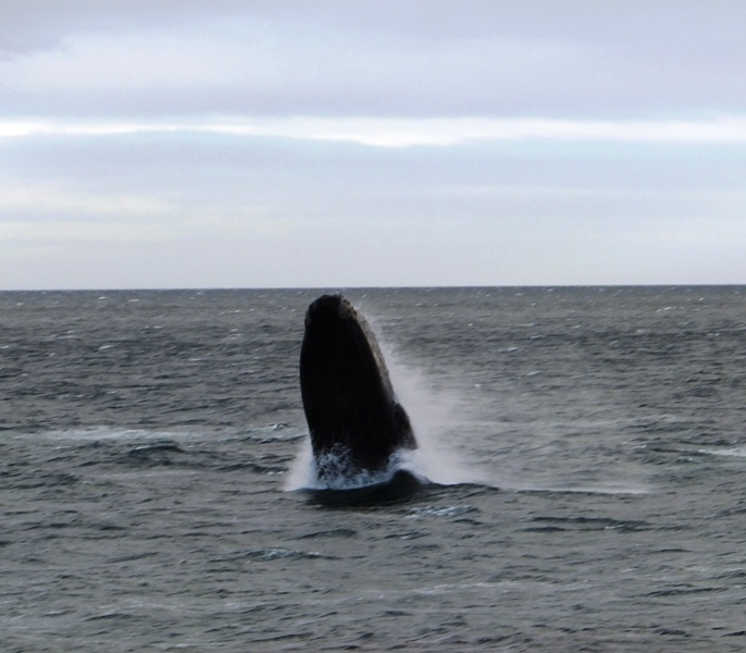Southern Right Whale breaching in False Bay, just off Simon's Town, South Africa.