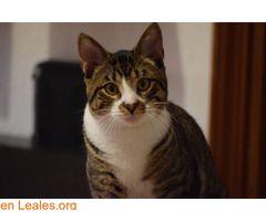 ARAGORN REY FELINO EN ADOPCIÓN  #Adopción #adopta #adoptanocompres #adoptar #LealesOrg  Contacto y info: Pulsar la foto o: https://leales.org/animales-en-adopcion/gatos-en-adopcion/aragorn-rey-felino-en-adopcion_i2835 ℹ   Éste gatazo de 10 meses ha sido encontrado en mitad de la calle solicitando caricias a todo viandante. Tendrá aproximadamente un año.  Es un gato mimoso cariños divertido y muy juguetón. Está esterilizado desparasitado y ha comenzado cuarentena para poder testarlo.  Adopta…