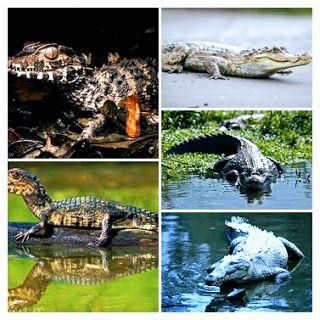 Animales y Plantas de Perú: Especies de Caimanes y Cocodrilos en Perú