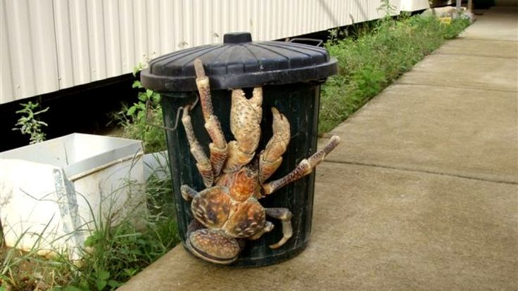 The coconut crab is the largest land-living arthropod in the world. Its name comes from its ability to break coconuts with its powerful pincers. Also known as the robber crab or palm thief, the coconut crab is sometimes used to protect coconut groves or sold as a pet in some areas of the world ... but owners had better watch out for those pincers.
